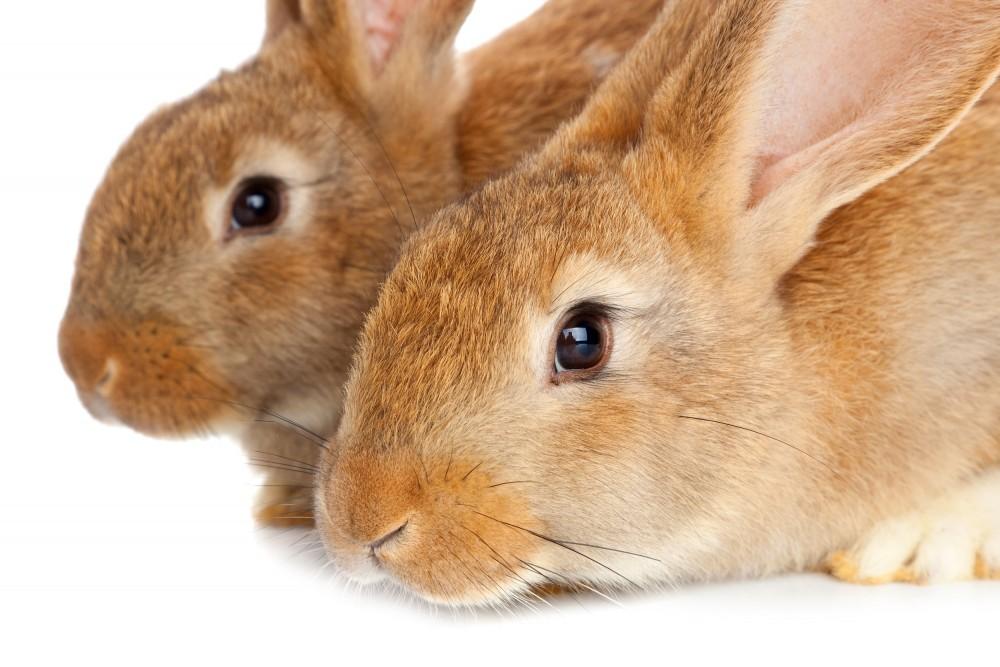 Urinary Tract Diseases And Urinary Stones In Rabbits Vethope Cz Veterinary Clinic Praha 4 Modrany